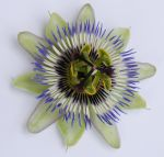 Passionflower 2 by cazcastalla