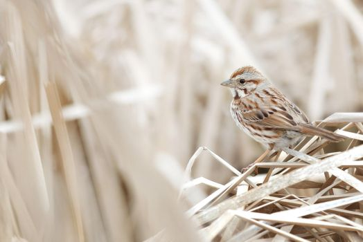 Song Sparrow by Kintarotpc