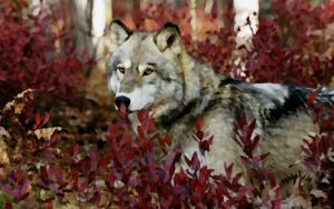 Autumn Wolf by lilfeather1994