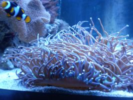 Clownfish by HeinousFlame