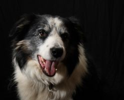 Border Collie Flint 9 by Photoburner