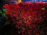 Autumn Red by winterbutterfly81