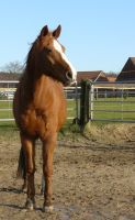 chestnut horse standing and looking by Nexu4