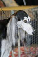 Saluki by Juicefine