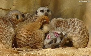 The secret life of Barry the two-headed meerkat by jaffa-tamarin