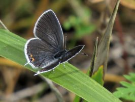 Eastern Tailed Blue Butterfly by Nipntuck3