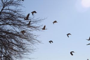 Geese on the wing by metaakumu