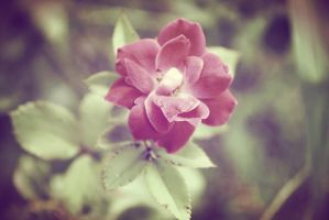Rose. by xxTLillyPhotography