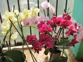 Phalaenopsis flower power by xaotherion
