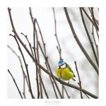 Eurasian blue tit by MBKKR