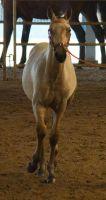 STOCK - 2014 Andalusian Nationals-53 by fillyrox