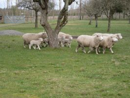 Sheep Again by ArtistStock