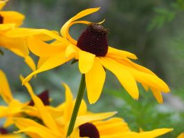 Black-eyed Susan by dmguthery
