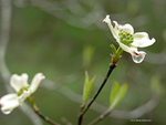 Dogwood in the rain by Mogrianne