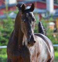 Trakehner stallion by Vikarus