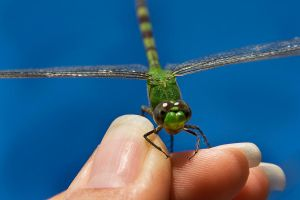 The Green Dragonfly 08 by lifeinedit