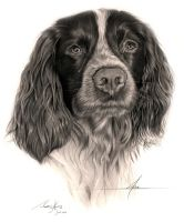 Commission - Sprocker Spaniel 'Alfie' by Captured-In-Pencil