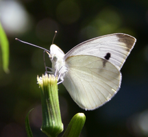 Cabbage Butterfly by ShadeeWolf