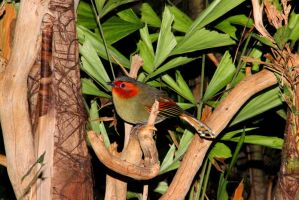 Scarlet-Faced Liocichla by TheSleepyRabbit