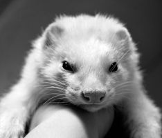 Sweet Ferret by jennalynnrichards