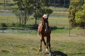 Horse stock - TB front on by Chunga-Stock
