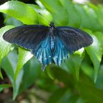 Blue butterfly by ConnieBearer