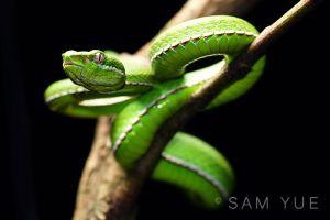 Green tree viper Trimeresurus stejnegeri by samyue