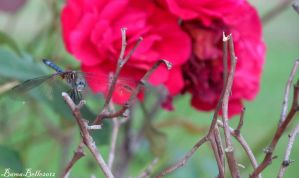 Dragonfly and a Rose by BamaBelle2012