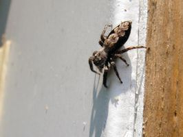 Jumping Spider by TrekkieTechie