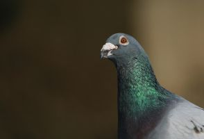 just a pigeon... by clochartist-photo