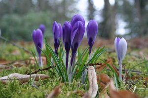 Crocuses 02 by CD-STOCK by CD-STOCK