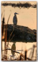 Heron by cdr80700
