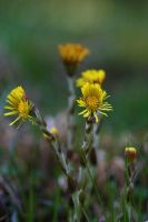 Coltsfoot by organicvision