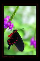 Pink Rose Swallowtail by ewm