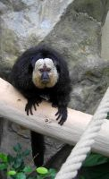 White-faced Saki III by Tienna