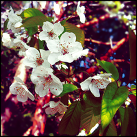 Cherry flowers by Whatsername777