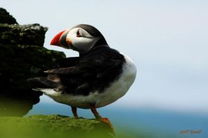 Puffin on the rocks 4 by Yoonett