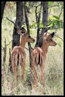 Black-faced Impala fawns by Nyeleti