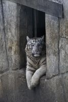 5063 - White Tiger cub by Jay-Co