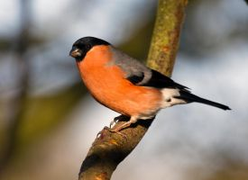 Bullfinch - in the sun by Steve-FraserUK