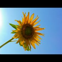 Helianthus Annuus by TuRKoo