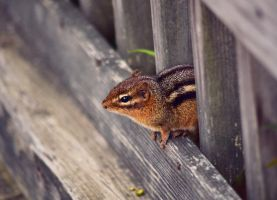 Chipmunk by Spademm