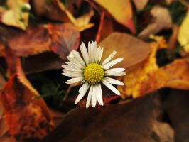 Survival Daisy. by Calidris555