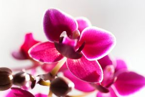 Orchidee by MalinQuist