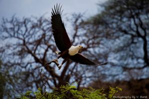 African Fish-Eagle by Solarstones
