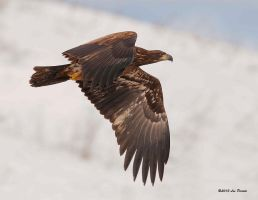 Juvenile Bald Eagle by Les-Piccolo