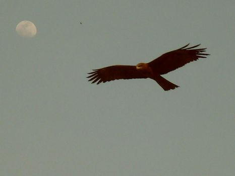 Eagle with moon in background by parishad