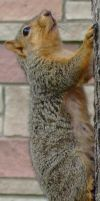 Squirrel 1 by Spiteful-Pie-Stock