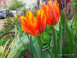 City Tulips by jim88bro