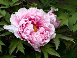 pink peony by muffet1